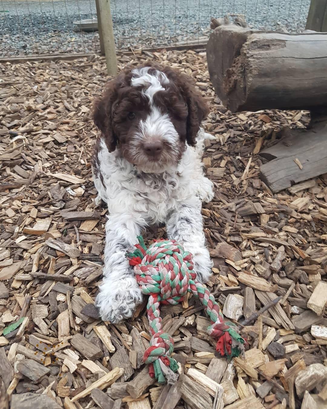 Lagottos Vom Fichtelhof Have A Look At Our Website Hunde Welpen Spass