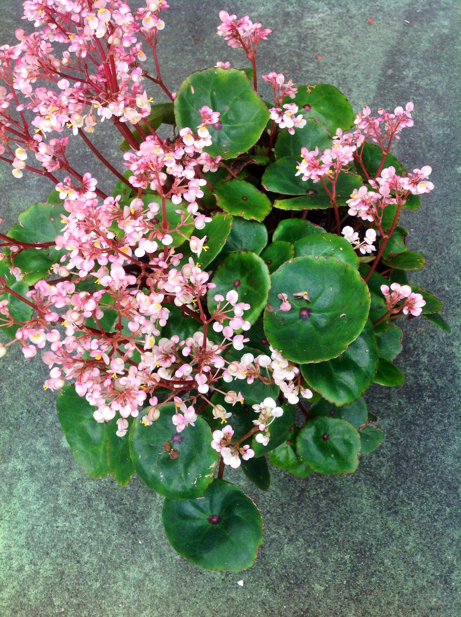 Bull S Eye Begonia Begonia Conchifolia In Full Bloom Personal
