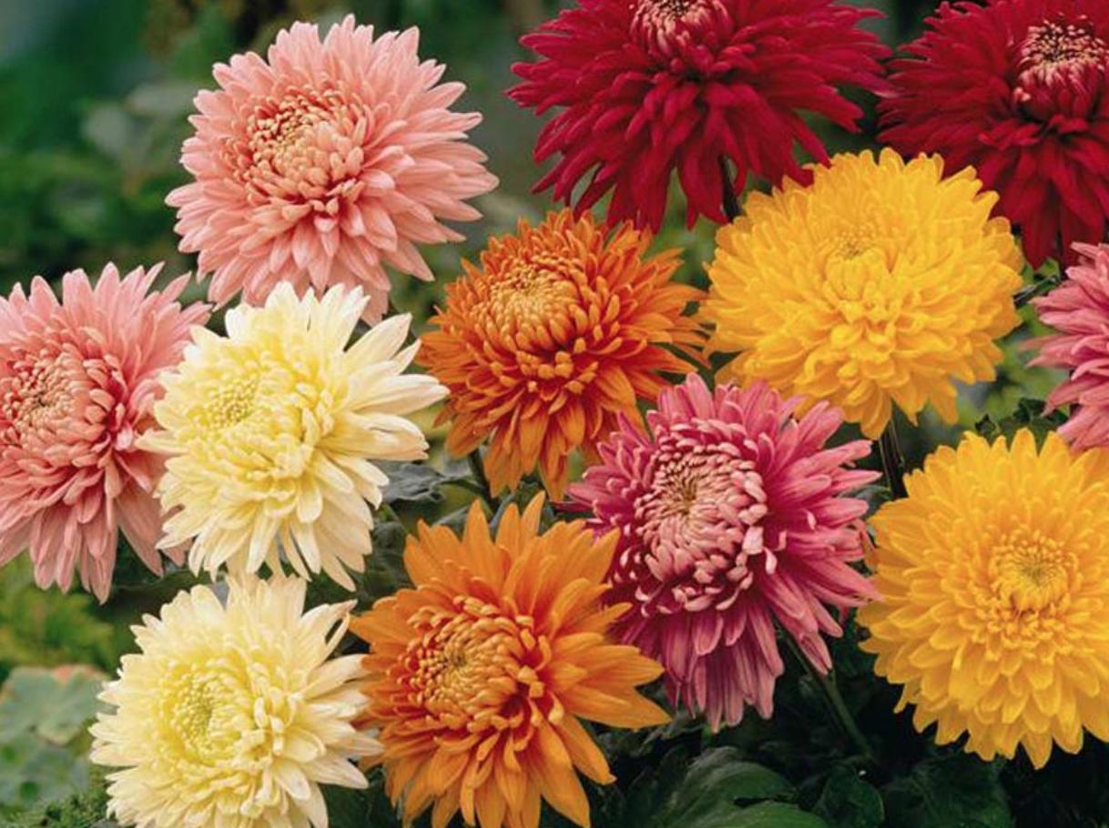 Perennial Mum Varieties Light Mums Thrive Best In Full Sun So Be Sure To Plant Them Where Full Light Mu In 2020 Chrysanthemum Flower Planting Flowers Plants