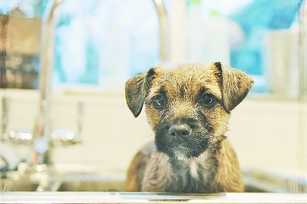 For Pet's Sake: Looking for a chemical-free flea and tick treatment? Apple cider vinegar is a natural flea repellent. Bathe your animal with the usual shampoo, pat dry, and then spray a mix of 3/4 apple cider vinegar to 1/4 warm water all over the coat and massage into the skin. Your furry friend will not only be flea-less but also have a shiny coat to boot! If your cat is prone to having accidents in the house, try this: clean the area first, and then spray apple cider vinegar to deter ...