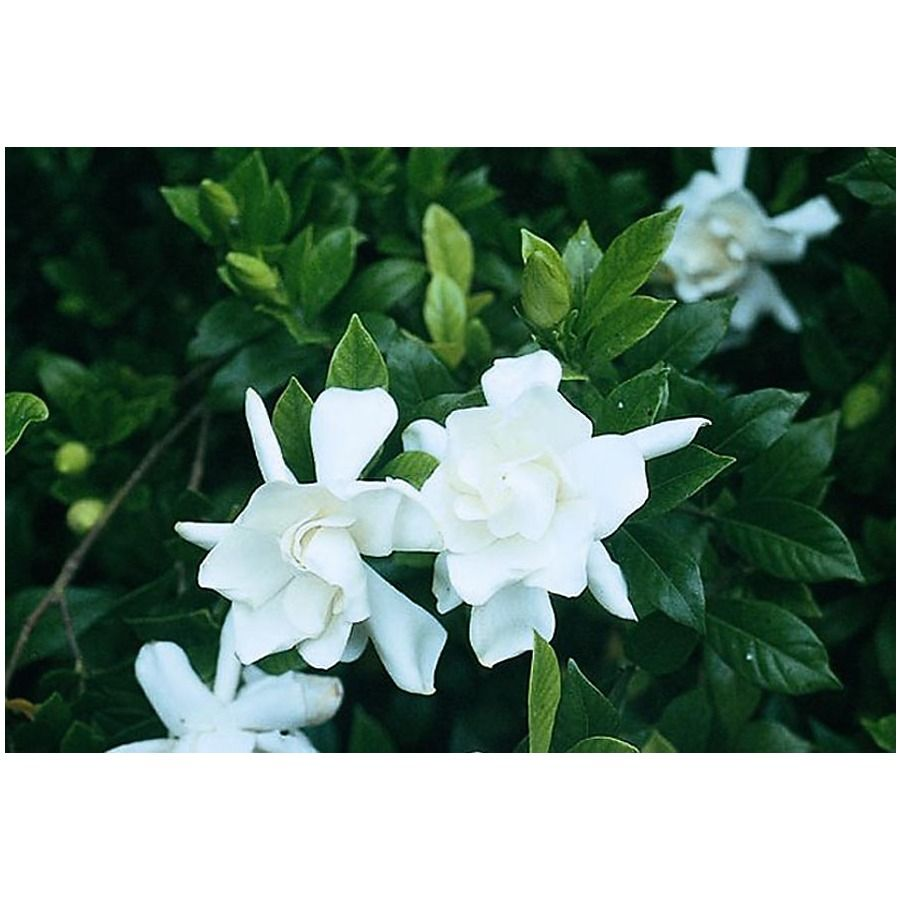 Monrovia 2 6 Quart White Frostproof Gardenia Flowering Shrub
