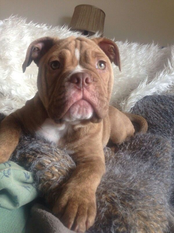 My 14 Week Old Old Tyme Bulldog Stunning Cute Animals Bulldog