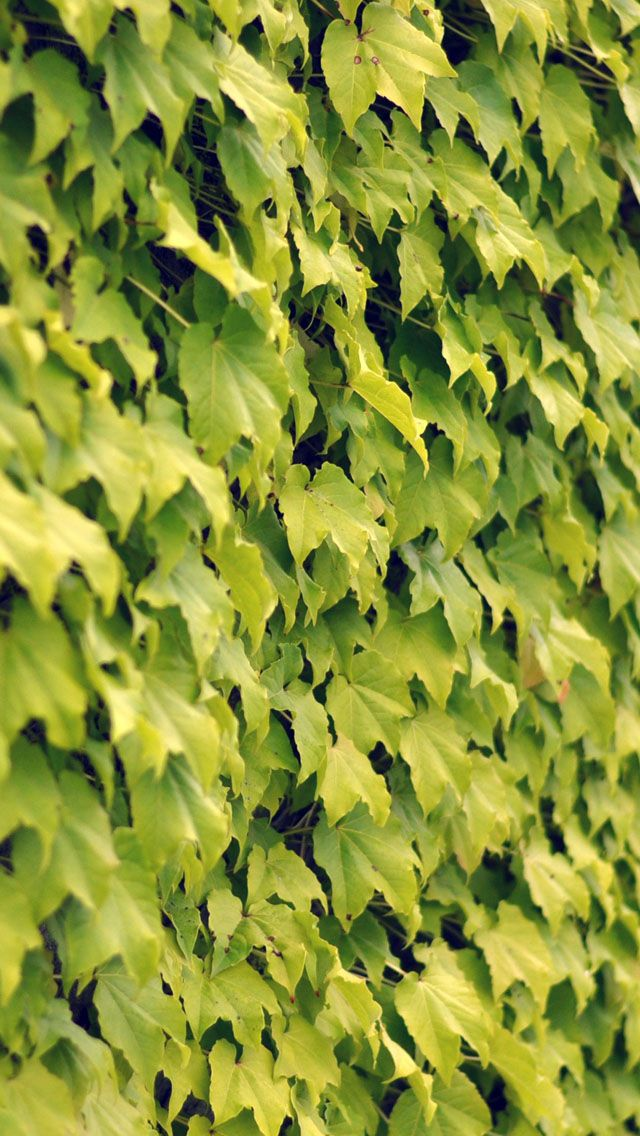 Ivy wall summer iPhone 5 Wallpaper Download - iLikeWallpaper is the - new world time map screensaver free download