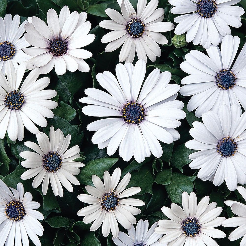 Impressive hardy perennial plant which becomes smoothered in cheerful daisy-shaped blooms during the summer months. Their neat and compact habit make them ideal for bedding and the front of a border. Height 40cm. 3cm jumbo plug plants supplied.