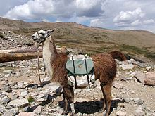 a pack llama in the rocky mountain national park the llama lama