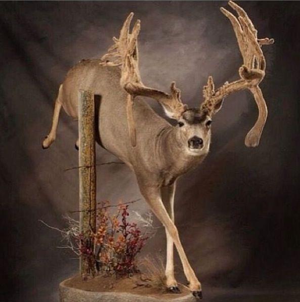 Taxidermy Mule Deer Amazing Work Mule Deer Deer Mounts Taxidermy Display