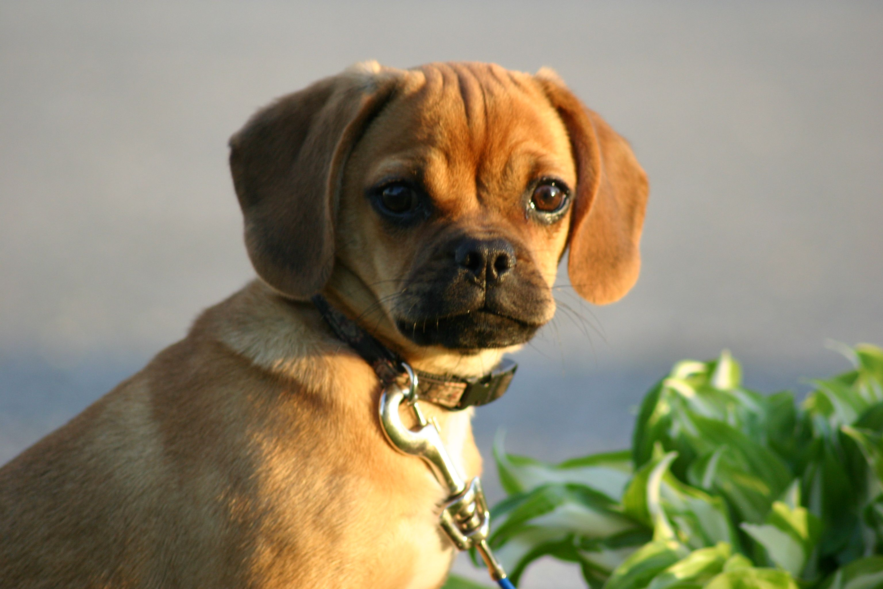 Puggle Puppy Please Puggle Dogs Puggle Puppies Puggle