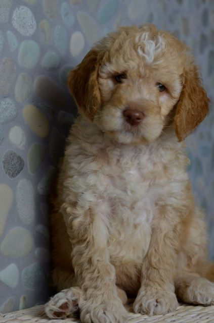Iowa Goldendoodle Breeder Goldendoodle Puppy For Sale Goldendoodle Goldendoodle Breeders