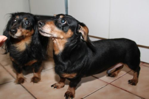 Sweet Bonded Pair Up For Adoption From Furever Dachshund Rescue