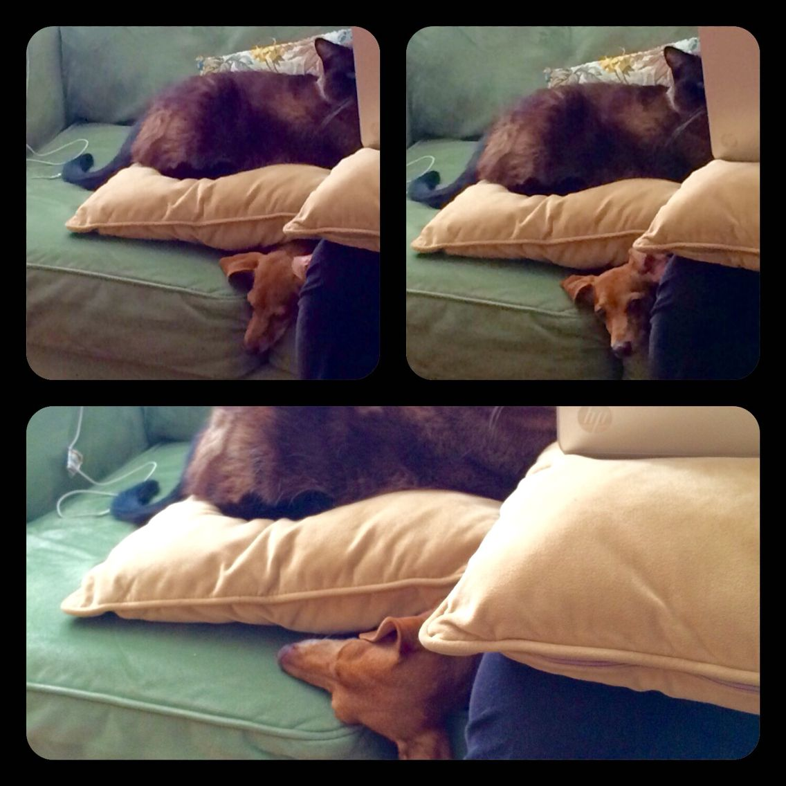Our minidoxie cuddled up under a pillow, under our