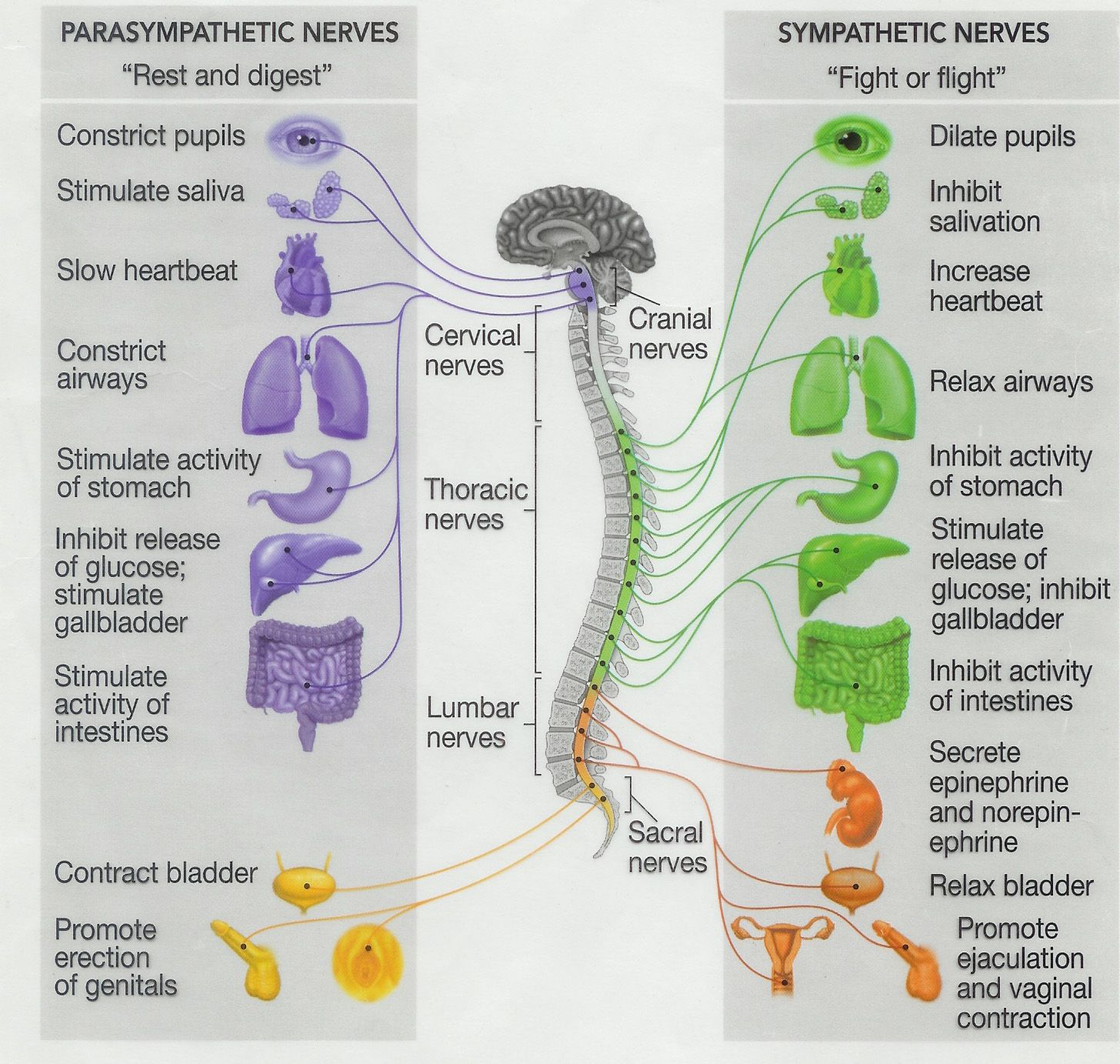 Parasympathetic Nerves Vs Sympathetic Nerves Chart
