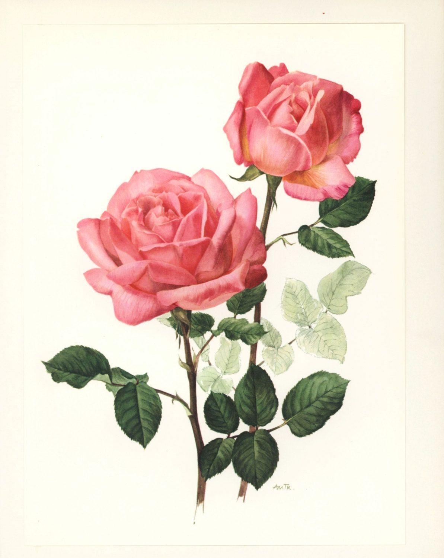 Shabby Chic Cottage Decor Rose By Paragonvintageprints On Etsy 8 00 Flower Art Botanical Flowers Print Rose Art