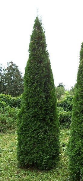 thuja occidentalis 39 smaragd 39 smaragd tuja kert pinterest thuja occidentalis garden. Black Bedroom Furniture Sets. Home Design Ideas