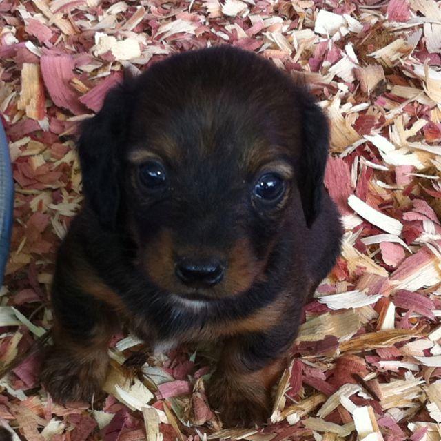 Long Haired Baby Dachshund Baby Dachshund Dachshund Dog Doxie Puppies
