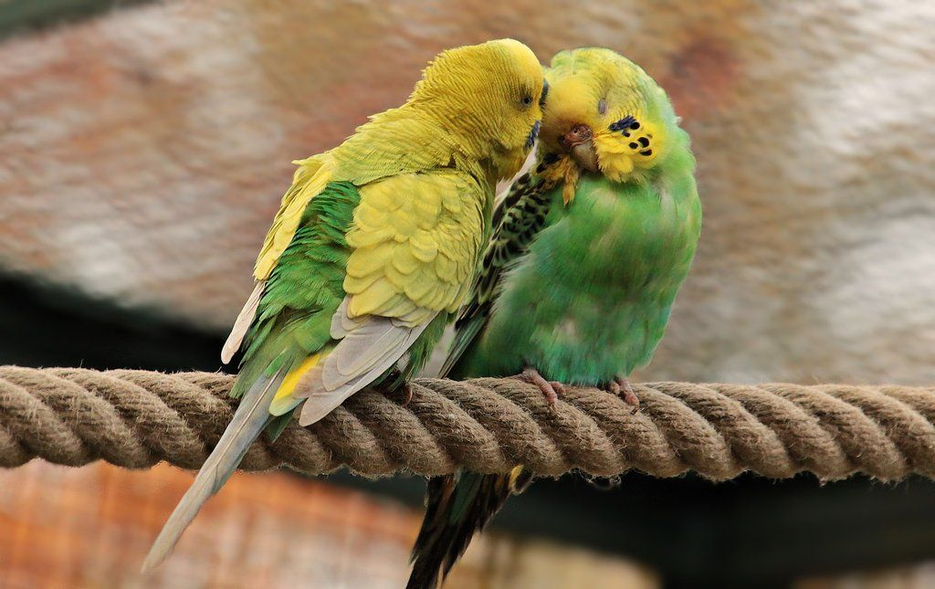 How To Put Your Parrot To Bed And How Much Sleep They Need Parrot Prayer For Marriage Restoration Marriage Restoration