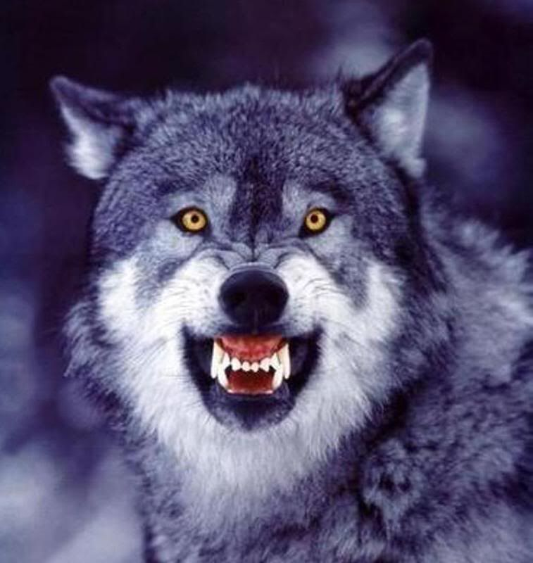 Wolves Growling, Snarling, The Hunt, Yellow Eyes