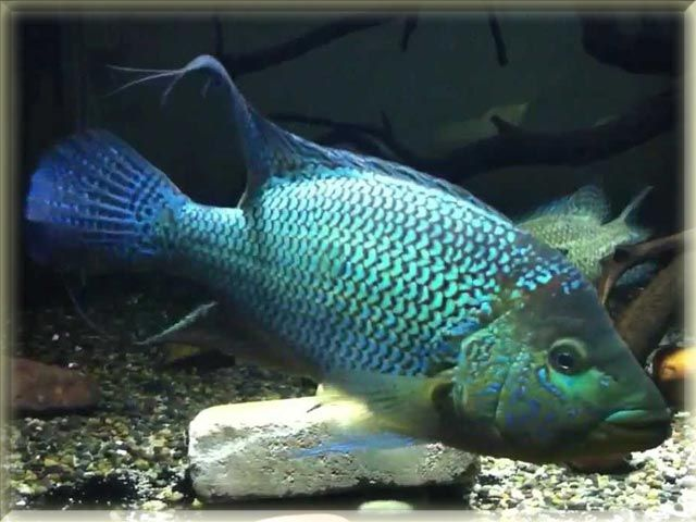 Umbee Cichlid Fish Pictures Freshwater Fish Cichlid Fish Fish