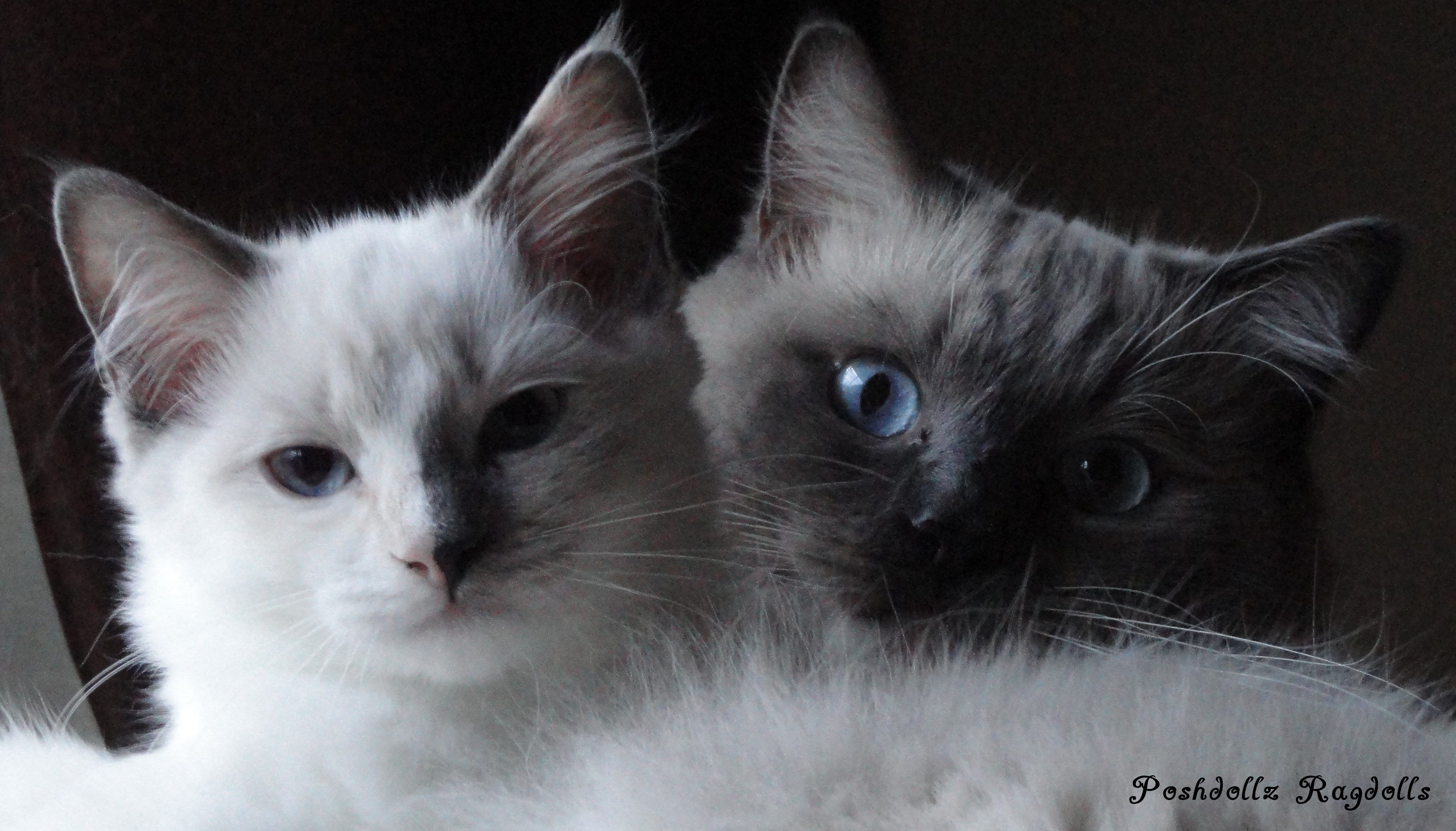Blue Tortie Point Mitted Ragdoll Kitten and Blue Point ...