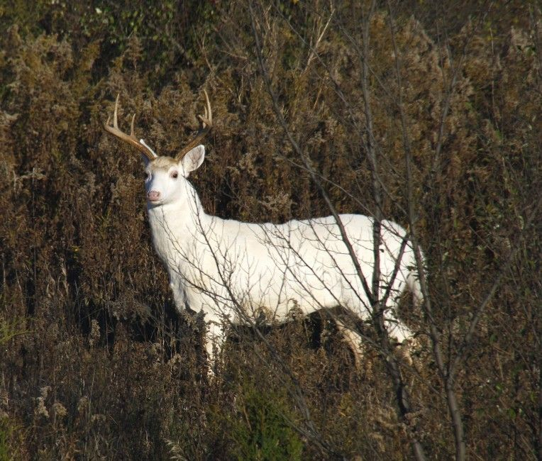white buck | Luminance | Deer, Albino deer, Wildlife