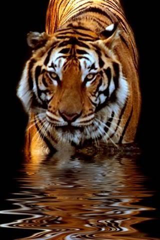 So fierce yet so majestic Animals, Tiger in water, All