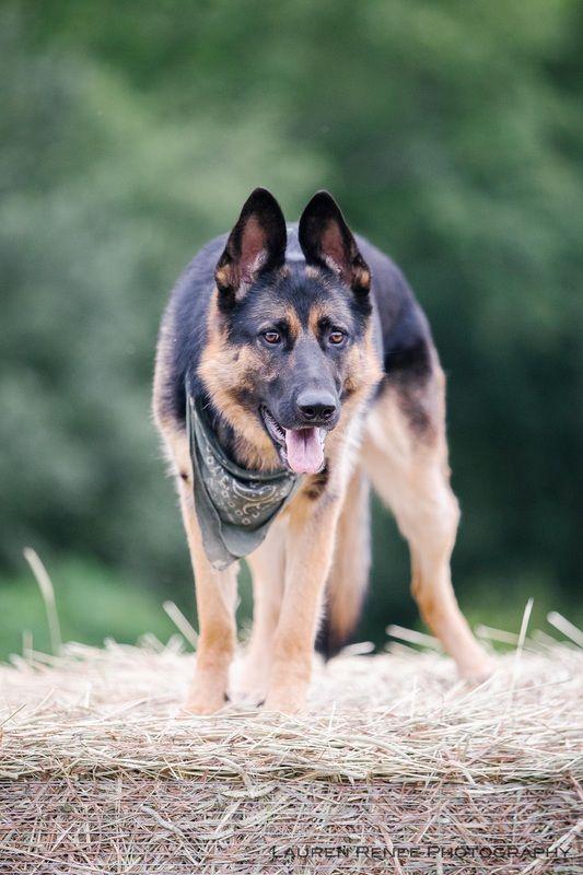 Senta German Shepherd The Dogs Of Pittsburgh German Shepherd