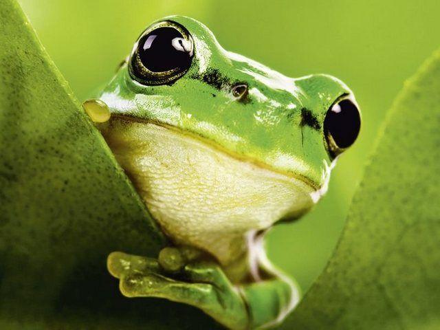 Glasbild Martin Valigursky Ausspahender Frosch Frosche