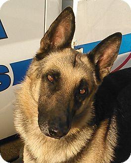 Corona Ca German Shepherd Dog Mix Meet Kennel 53 Medical A