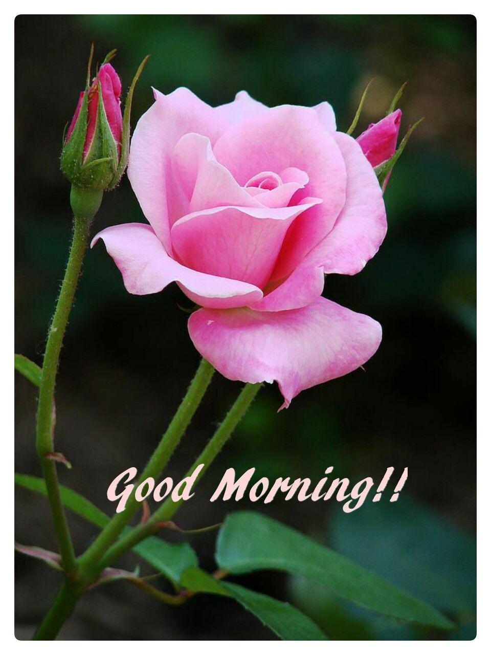 Good morning good morning pinterest - Good morning rose image ...