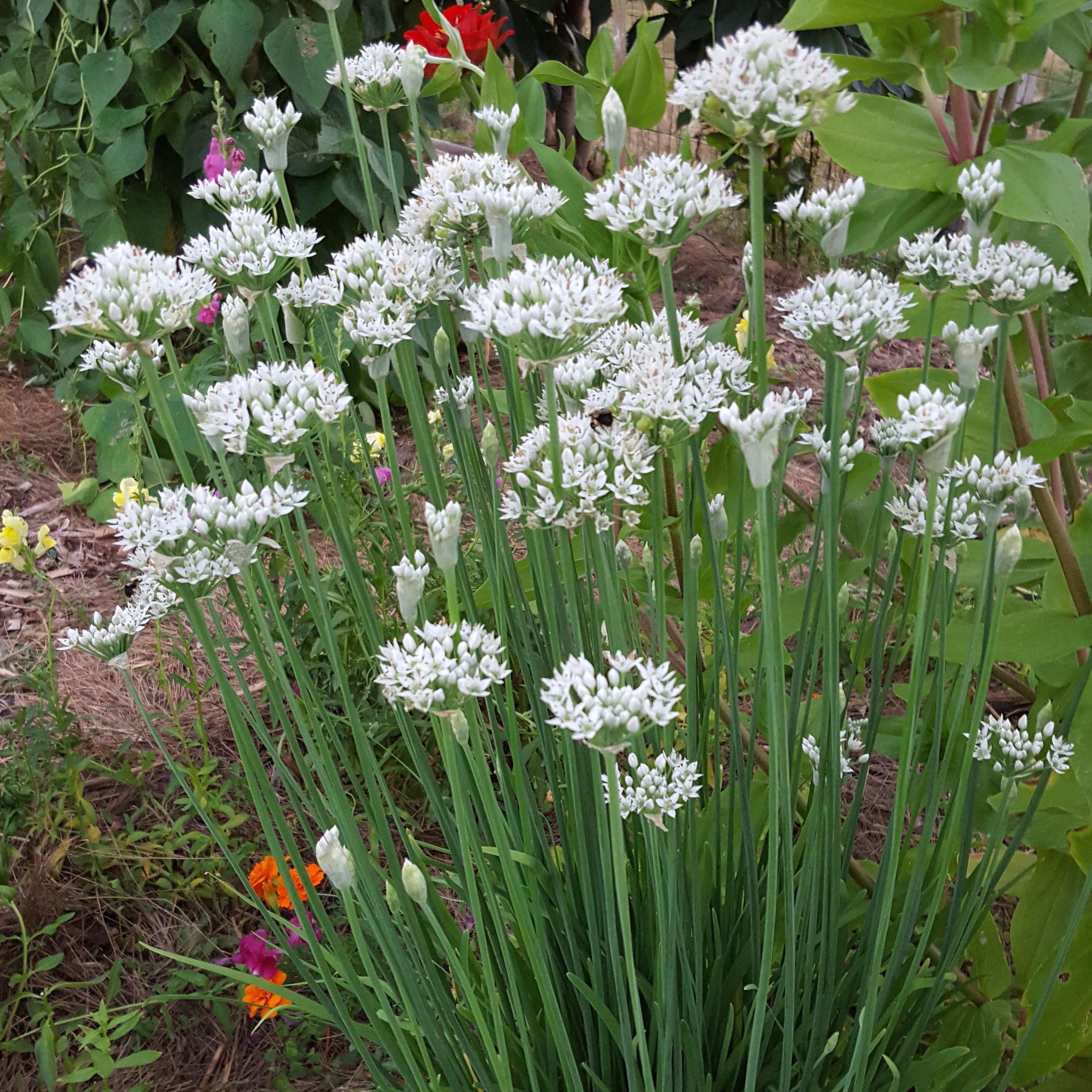 Garlic Chives Chives Plant Garlic Chives Garlic Flower