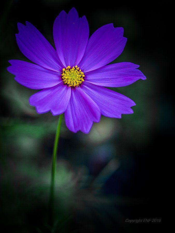 Photos Of Nature Bestphotonature Cosmos Flowers Purple Flowers Beautiful Flowers