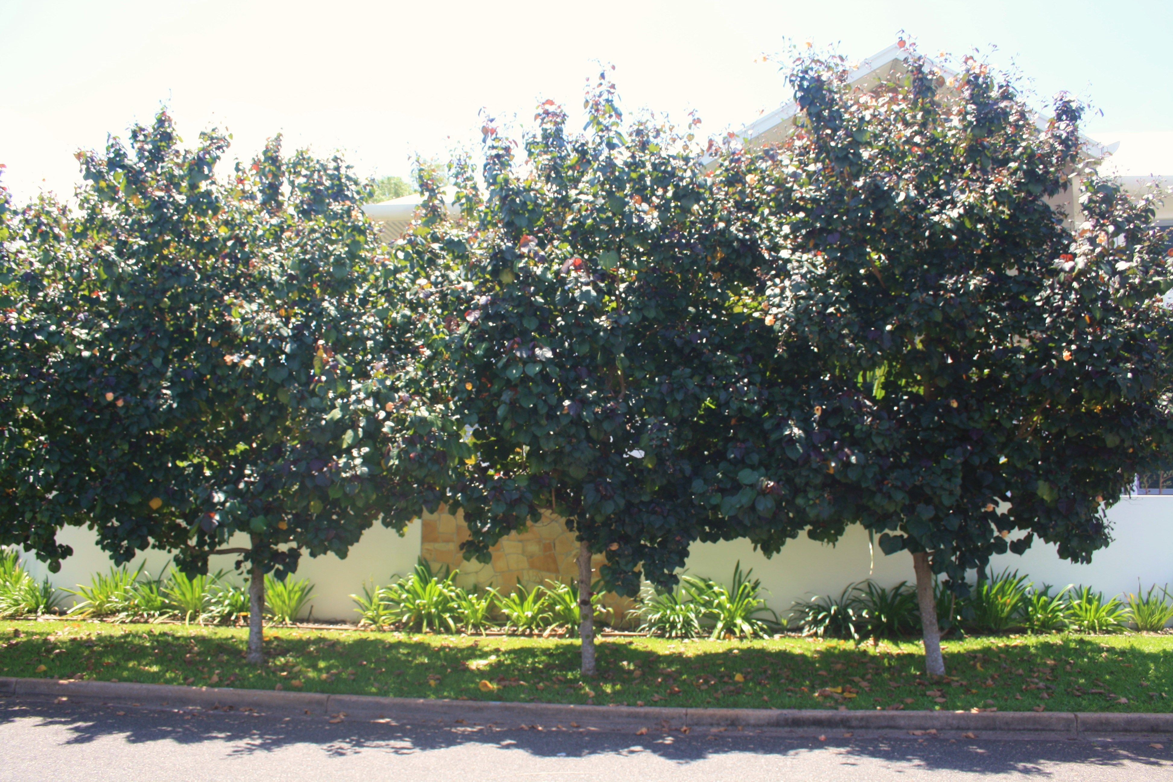 Hibsiscus tilceaus rubra nt native tree large shrub this for Great small trees