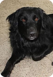 Pin by Lisa Arion on DFW Pup Patrol Rescue | Flat coated retriever
