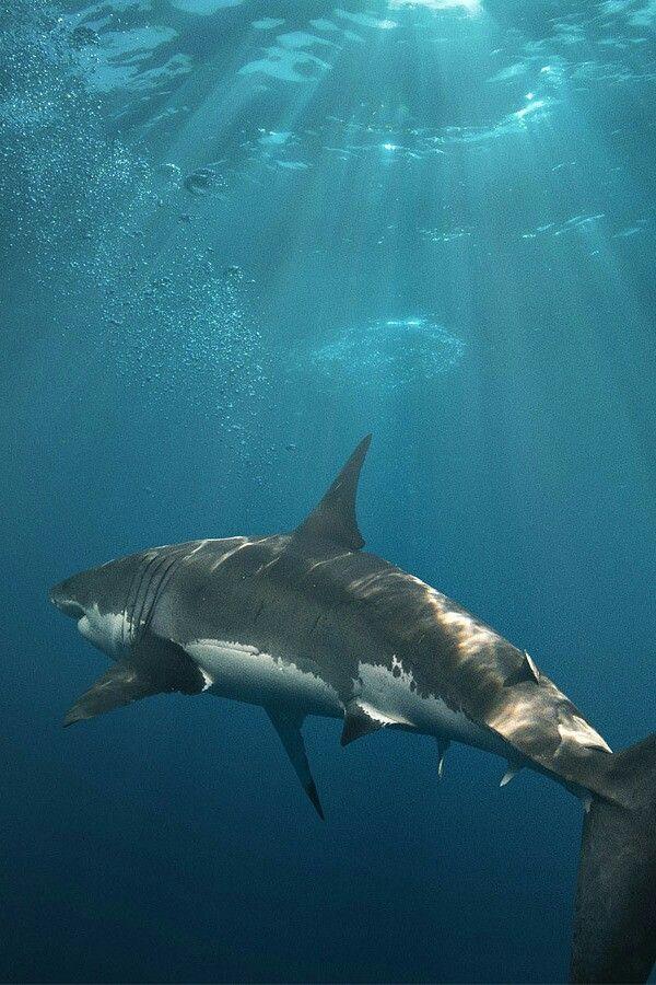El Gran Blanco | Imágenes de tiburones, Tiburones, Tiburon ...