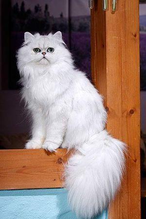 Perserkatze Perserkatze, Katzen, Persische katze