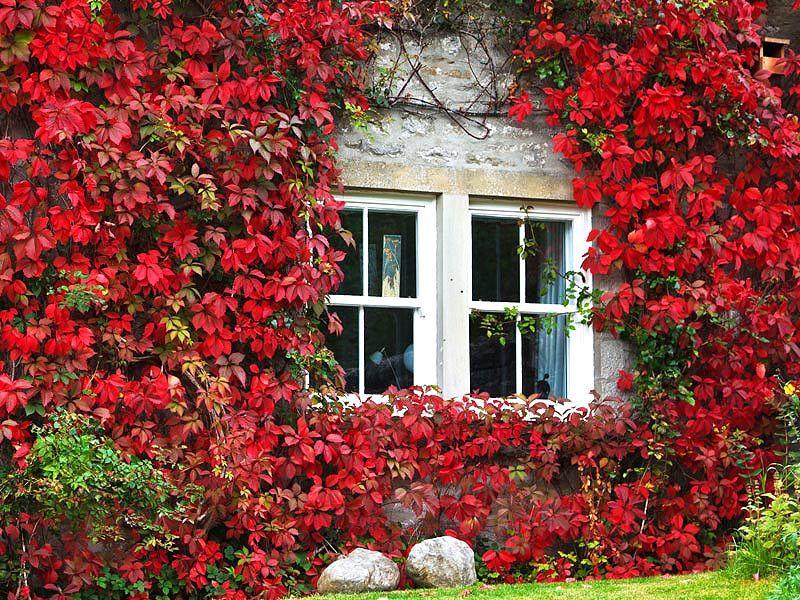Enredadera hiedra roja enredaderas y trepadoras - Arbustos perennes con flor ...