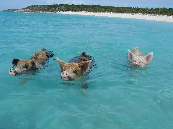 Image result for There is an uninhabited island in the Bahamas known as Pig Beach, which is populated entirely by swimming pigs.