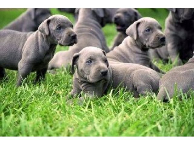 AKC Reg Males and Females Great Dane Puppies for sale now