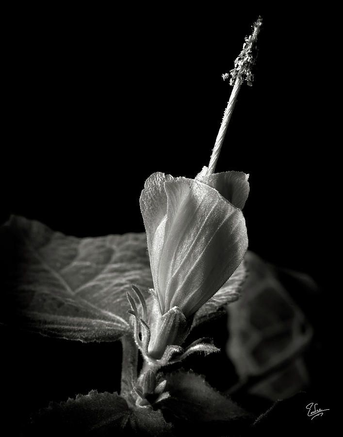 Flower photograph turks cap in black and white by endre balogh