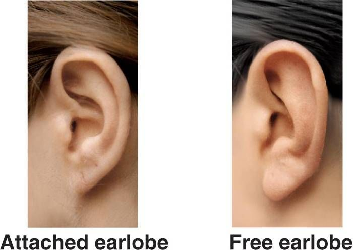 There are two types of Earlobes attached and free swinging they are inherited traits so they come from your DNA. | Mitochondrial eve, Genetics, Mitochondrial