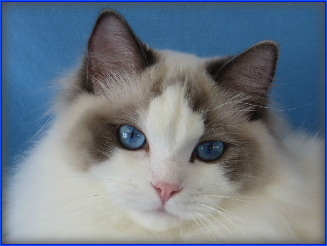 Our Ragdoll Cats Crescent Moon Ragdolls Cat Ragdoll
