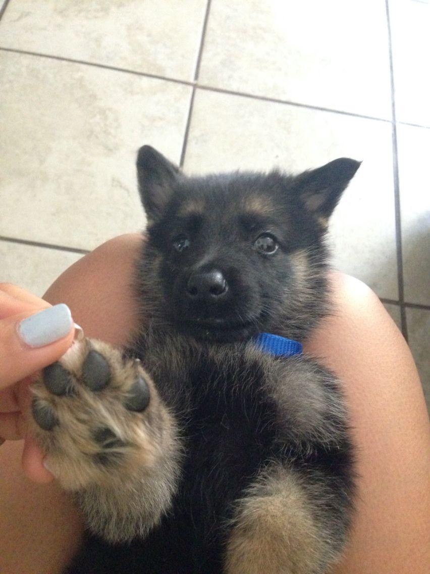 Gsp puppy gsd puppies gsp puppies german shepherd puppies