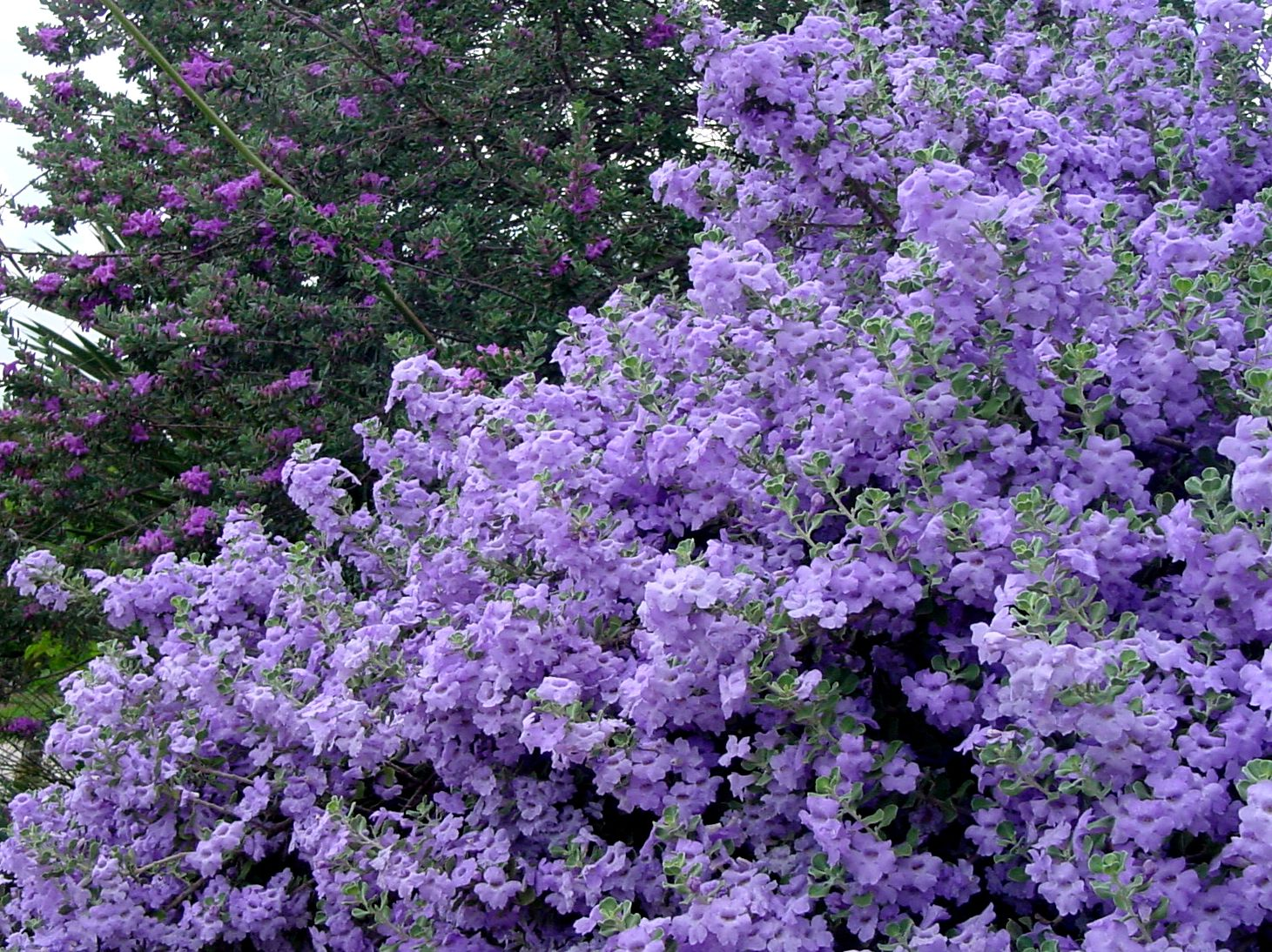 Shrubs with purple flowers pictures - Lynn S Legacy Cenizo Texas Sage 5 Rounded Bush Silvery