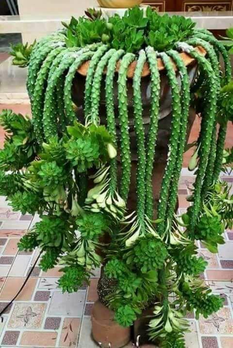 Pin do a carine broekhuis em cactus pinterest for Cactus variedades
