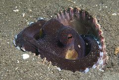 Coconut Octopus Resting in Large Shell