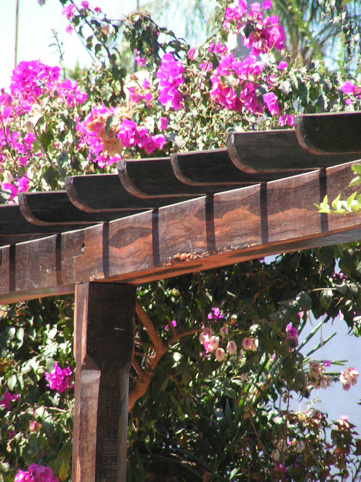 Bouganvilla And Pergola, Beautiful Together
