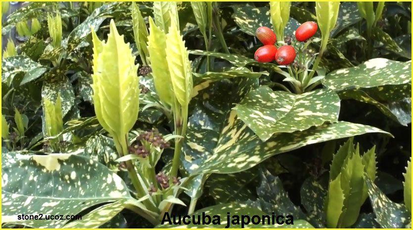 انواع نبات الاوكوبة Aucuba قوائم النبات قوائم النبات معلومان عامه معلوماتية Vegetables Stuffed Peppers Japonica
