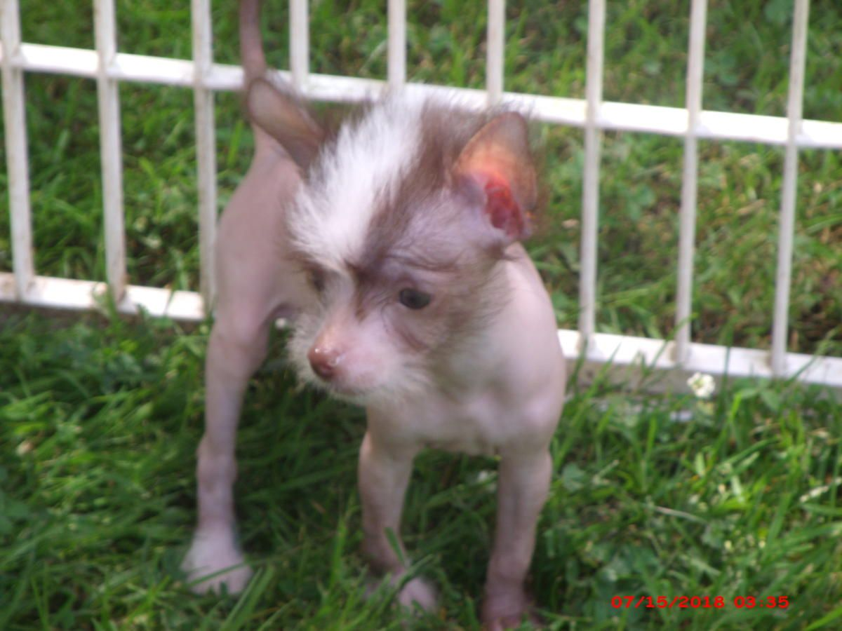 Chinese Crested Puppies in Big Rapids, Michigan Hoobly