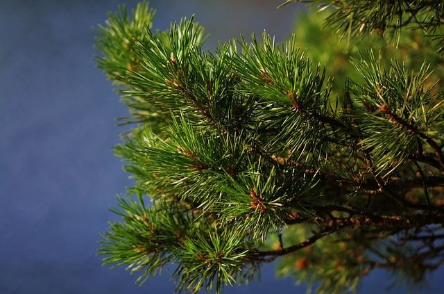 11 Unexpected Survival Uses For Christmas Trees | Survival ...