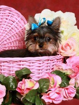 Newborn Yorkies Yorkshire Terrier Information Center Yorkie Safe Dog Toys Yorkie Terrier