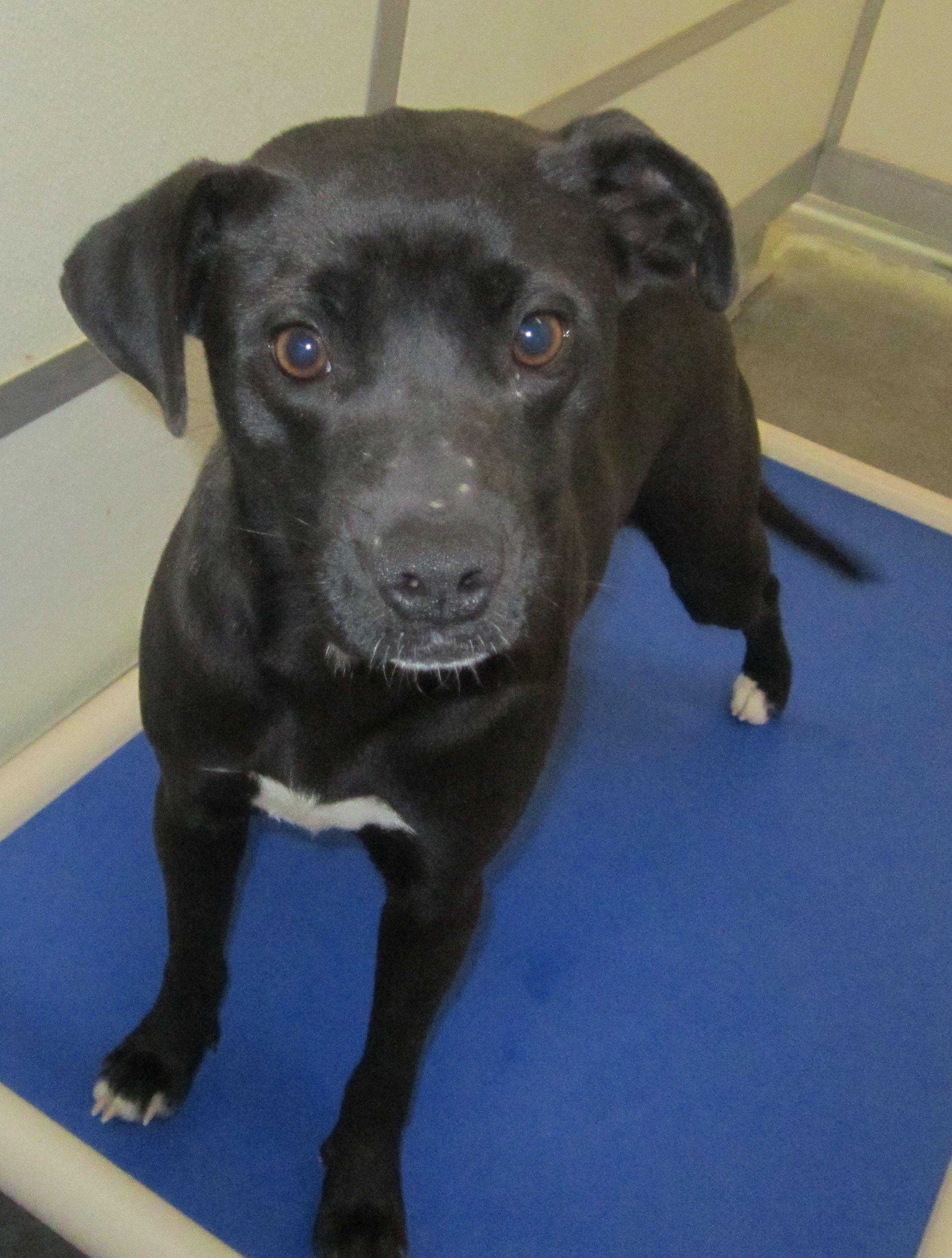 Adopt jazzy on petfinder black labrador retriever dog